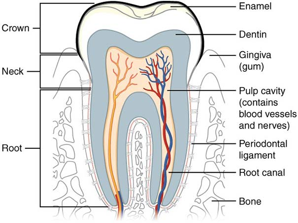 Tooth_cross_section